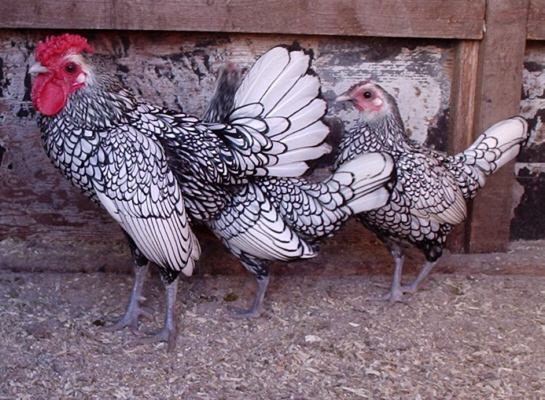 تخم مرغ های سبرایت