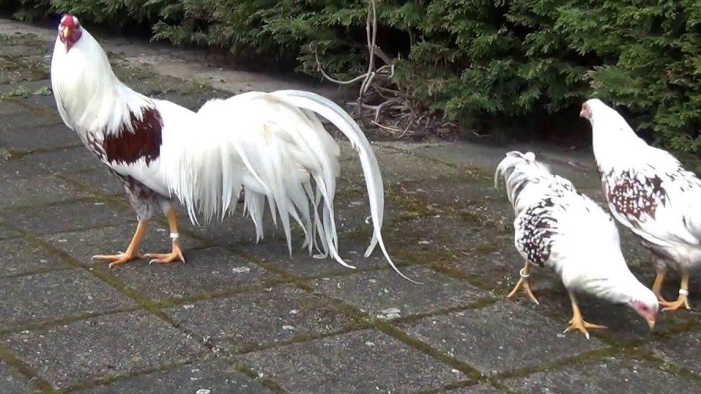 مرغ و خروس یوکوهاما