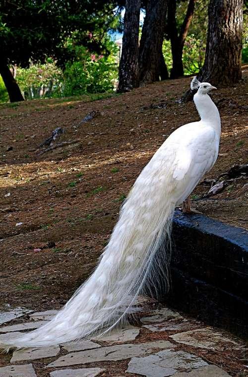 تخم طاووس سفید