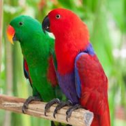 eclectus-parrot-solomon-island-266×300