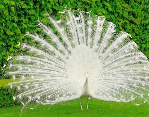 طاووس سفید