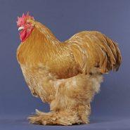 مرغ کوشین