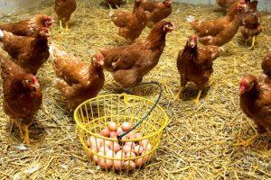 بیماری های مختلف مرغ