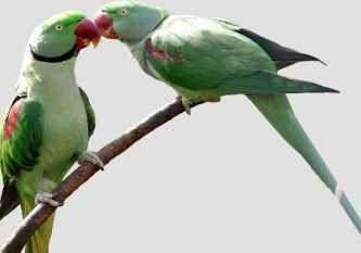 eskandar_parrot_1